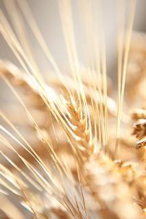 乾燥した小麦