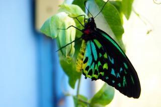蝶クローズアップ、緑