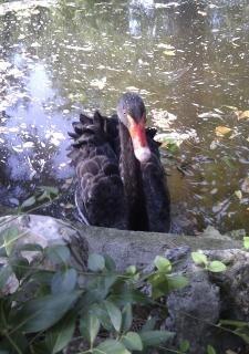 公園スペインマドリードで黒い白鳥が泳ぐ