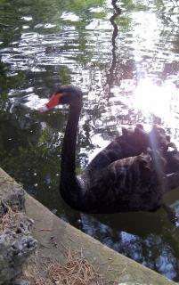 公園スペインマドリードで黒い白鳥