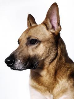 Немецкая овчарка собаки