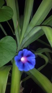 真夜中の青い花