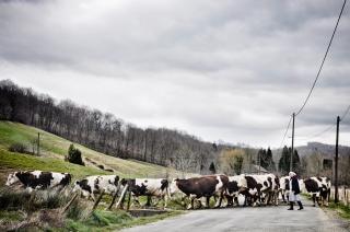 牛の群れ、農村