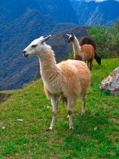 Мачу-пикчу, перу ламы
