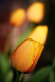 オレンジ色のチューリップの絵