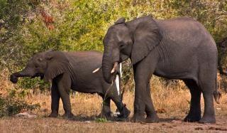 クルーガー国立公園の象国民