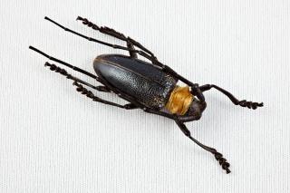 カミキリムシ科甲虫長い
