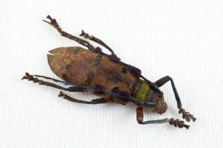 カミキリムシ科甲虫相