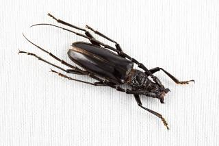 カミキリムシ科甲虫長いホーン