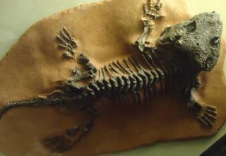 初期のトカゲ化石