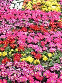 Красочные первоцветы