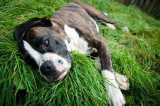 草の上に横たわってボクサー犬