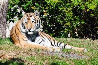 Тигр шаблон