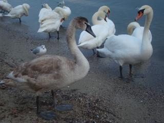 黒海沿岸で白い白鳥