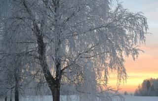 Снежная снег дерево