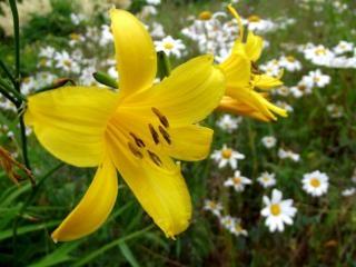 黄色いリリー