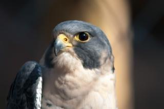 Ястреба птица животных
