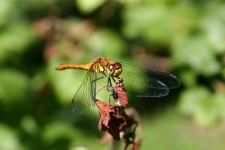 ドラゴンフライ、翼、緑