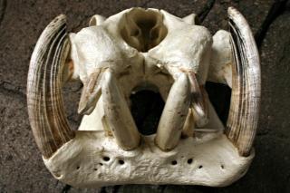 Бегемота черепа