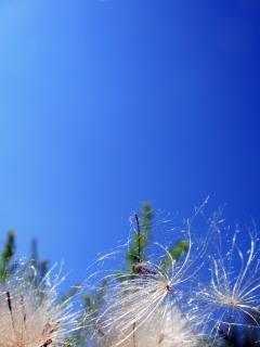 青い空を背景にタンポポ