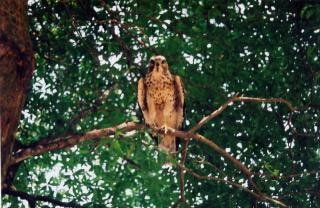 フロリダ州の鶏の鷹