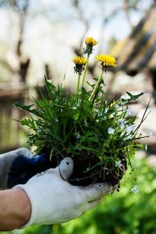 人の手の中の植物タンポポ