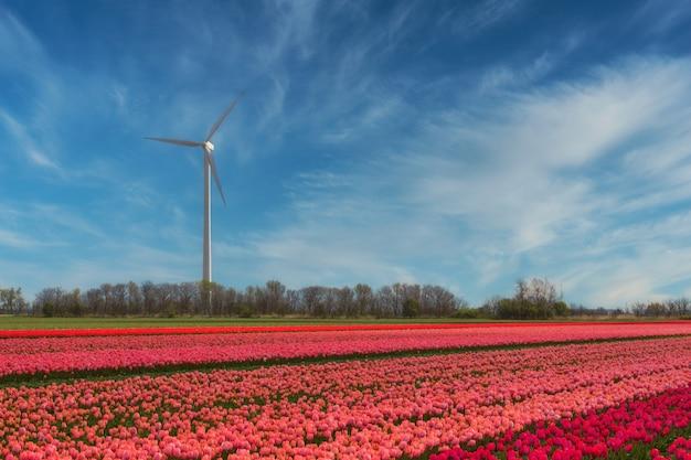 オランダのどこかで咲くチューリップ畑の風力発電所-再生可能エネルギー源