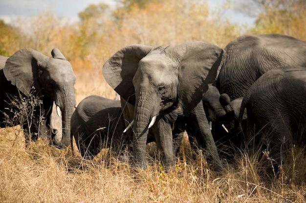 象の群れ-クガー-南アフリカ