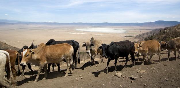 Вид на кратер нгоронгоро над стадом коров