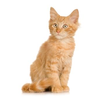 ジンジャー猫の子猫。分離された猫の肖像画