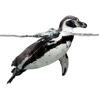 Изолят пингвина гумбольдта на белом