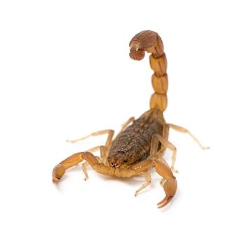 Скорпион - готтентотта готтентотта изолированный