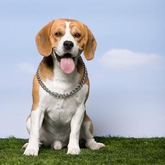 Бигль, сидя на траве на фоне голубого неба
