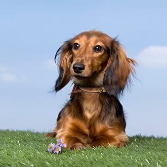 青い空を背景に芝生の上のダックスフンド子犬