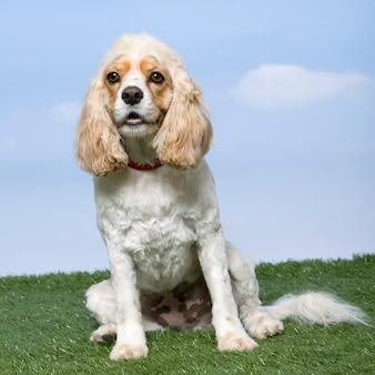 Смешанная собака породы между кокер-спаниелем и кавалер-кинг-чарльз-спаниелем, сидящим на траве против голубого неба.
