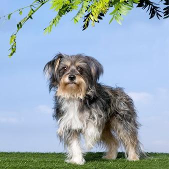 青い空を背景に草の前にヨークシャー立って混合品種の犬