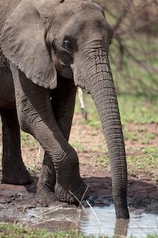 アフリカ象を飲む、セレンゲティ国立公園、セレンゲティ、タンザニア、アフリカ