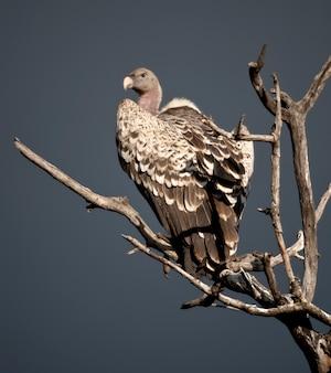 アフリカ、タンザニアのセレンゲティで木に腰掛けてハゲタカ