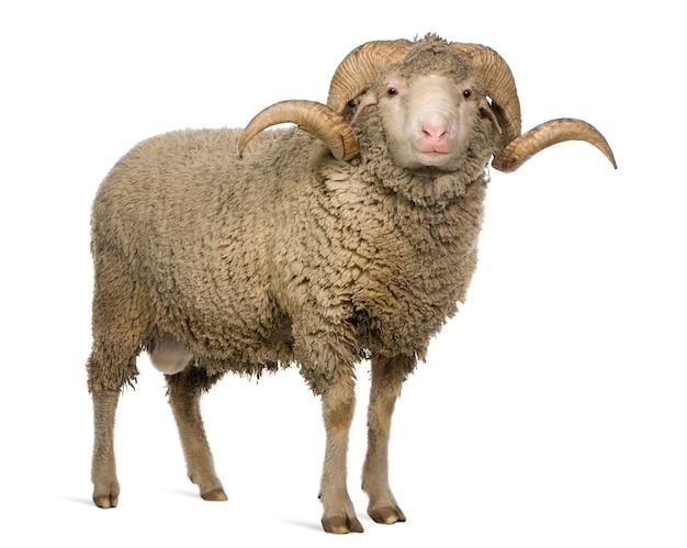 アルルメリノ羊、ラム、立っています。
