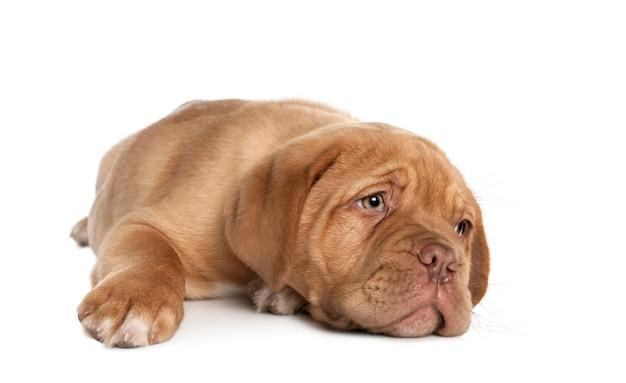Щенок бордоского лежа. портрет собаки изолированный