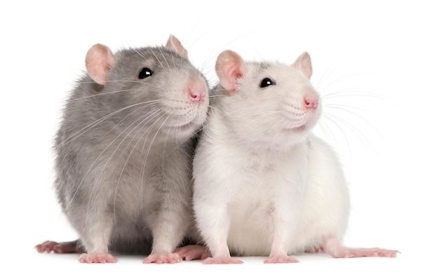 Хаски крыса на белом фоне