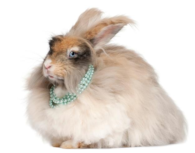 白い背景の前で真珠を着て英語アンゴラウサギ