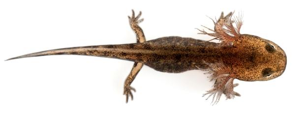 Огненная личинка саламандры с наружными жабрами
