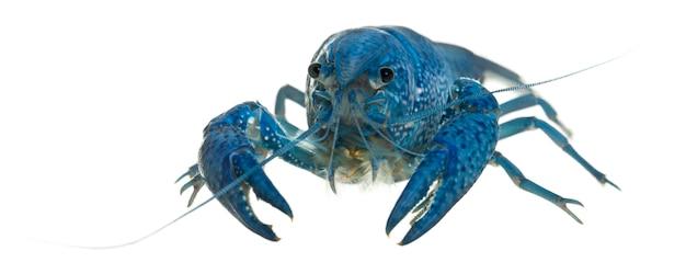 Голубые раки флориды