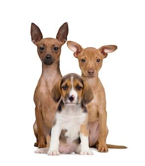 座っているミニチュア・ピンシャーズとビーグル子犬の肖像画