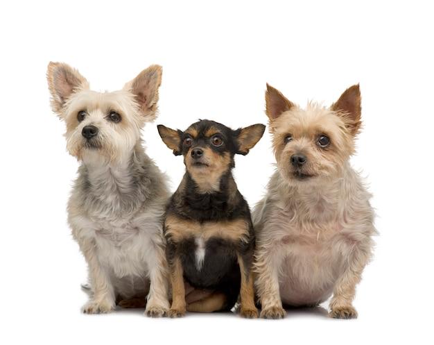 ヨークシャーテリアとチワワ。分離された犬の肖像画