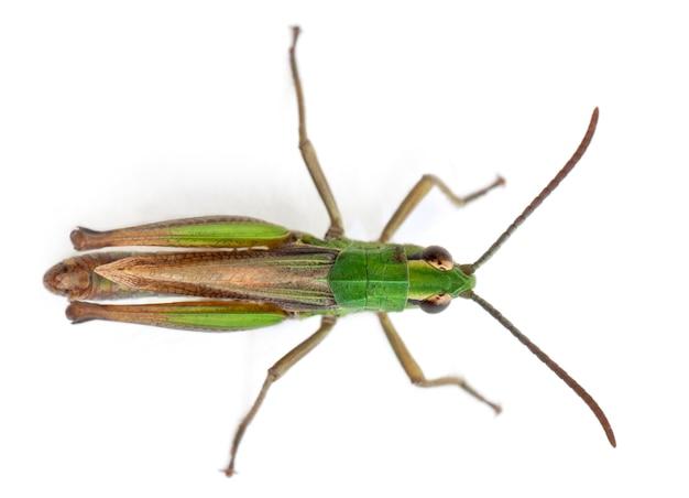 Зеленый крикет, изолированные на белом