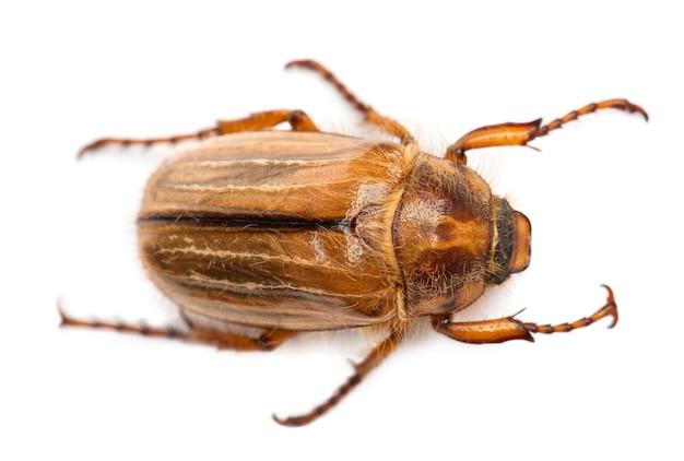 Европейский июньский жук