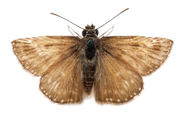 Шкипер (бабочка)