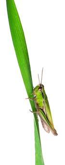 Крикет на травинке